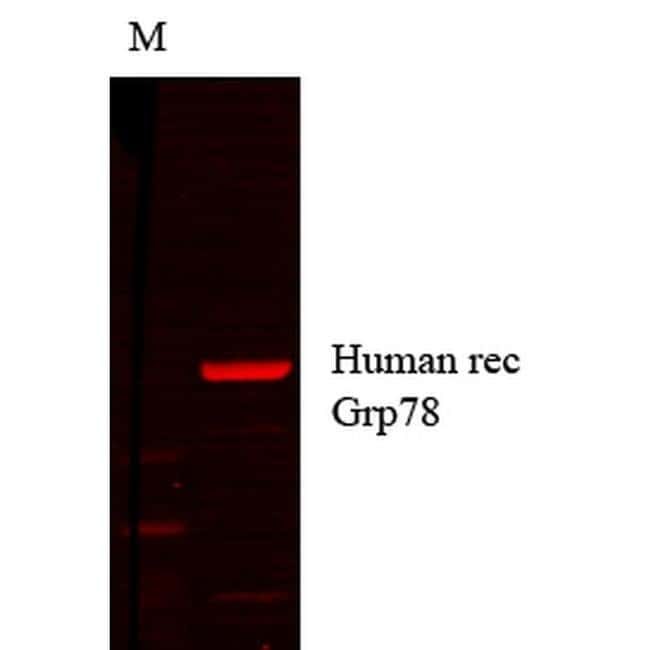 GRP78 Mouse anti-Bovine, Human, Mouse, Rabbit, Rat, Rhesus Monkey, Xenopus
