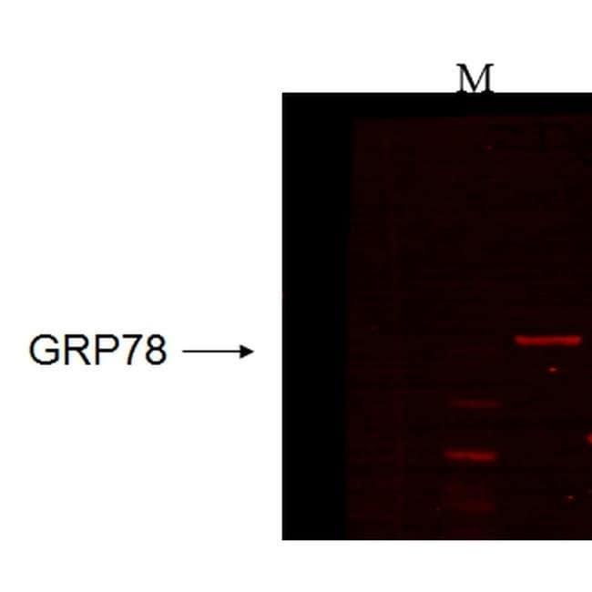 GRP78 Mouse anti-Bovine, Human, Mouse, Rabbit, Rat, Rhesus Monkey, Xenopus