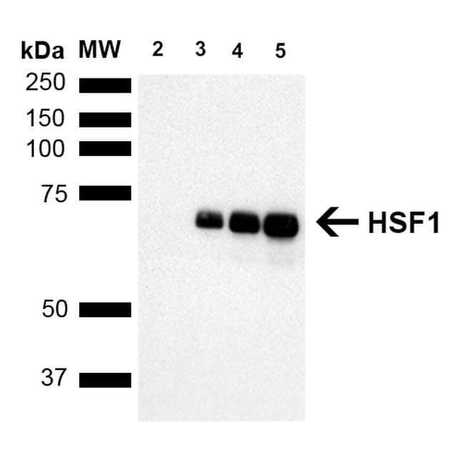 HSF1 Rat anti-Bovine, Guinea Pig, Hamster, Human, Mouse, Rabbit, Rat, Rhesus