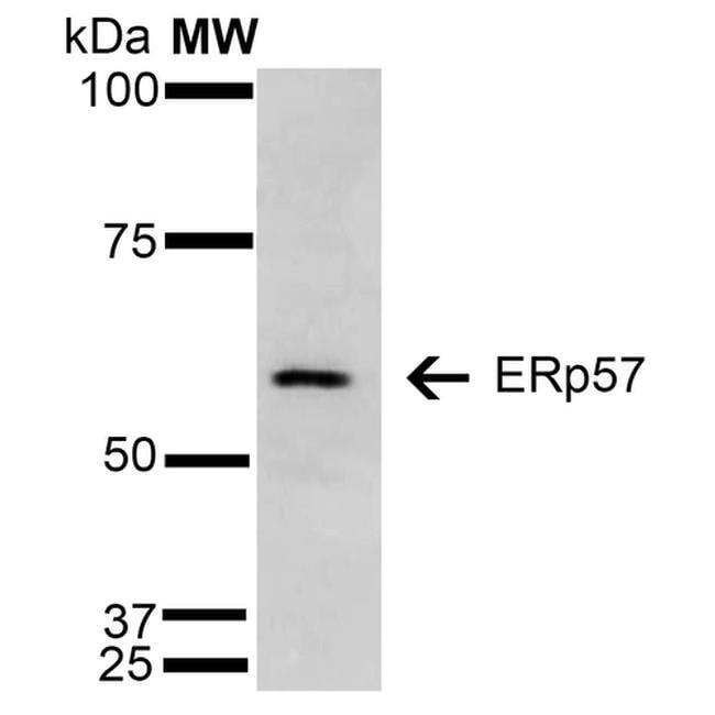 ERp57 Mouse anti-Human, Clone: 4F9, Invitrogen 100 µg; Unconjugated