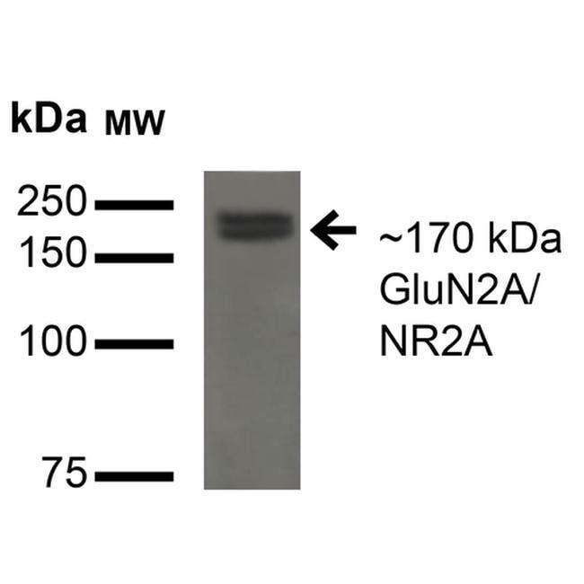 NMDAR2A Mouse anti-Human, Mouse, Rat, Clone: S327A-38, Invitrogen 100 µg;