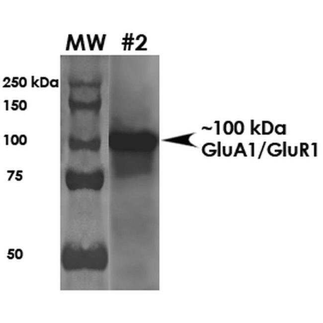 GluR1 Mouse anti-Human, Mouse, Rat, Clone: S355-1, Invitrogen 100 µg;