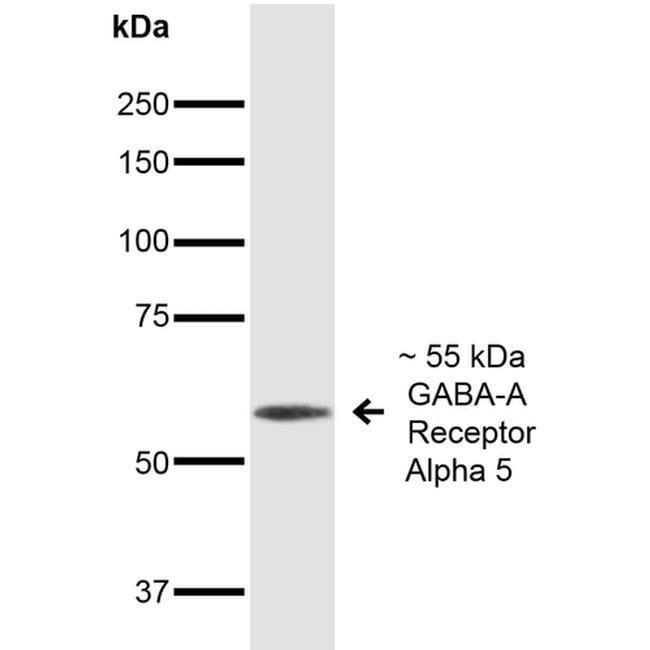 GABRA5 Mouse anti-Human, Mouse, Rat, Clone: S415-24, Invitrogen 100 µg;