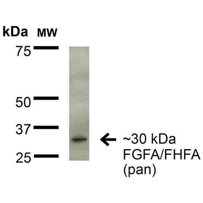 FGF13 Mouse anti-Human, Mouse, Rat, Clone: S235-22, Invitrogen 100 µg;
