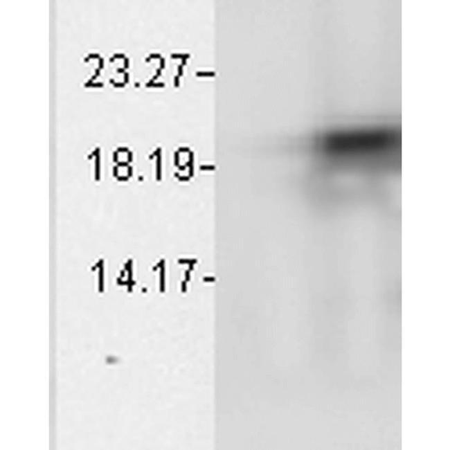 CRYAB Mouse anti-Bovine, Human, Rat, Clone: 1A7.D5, Invitrogen 200 µg;