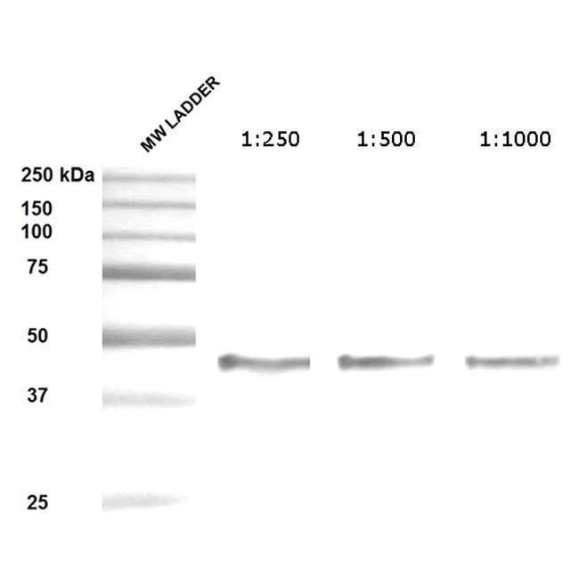 SERPINH1 Mouse anti-Human, Clone: 1C4-1A6, Invitrogen 200 µg; Unconjugated