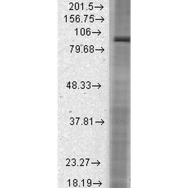 HCN2 Mouse anti-Human, Mouse, Rat, Clone: S71-37, Invitrogen 100 µg;
