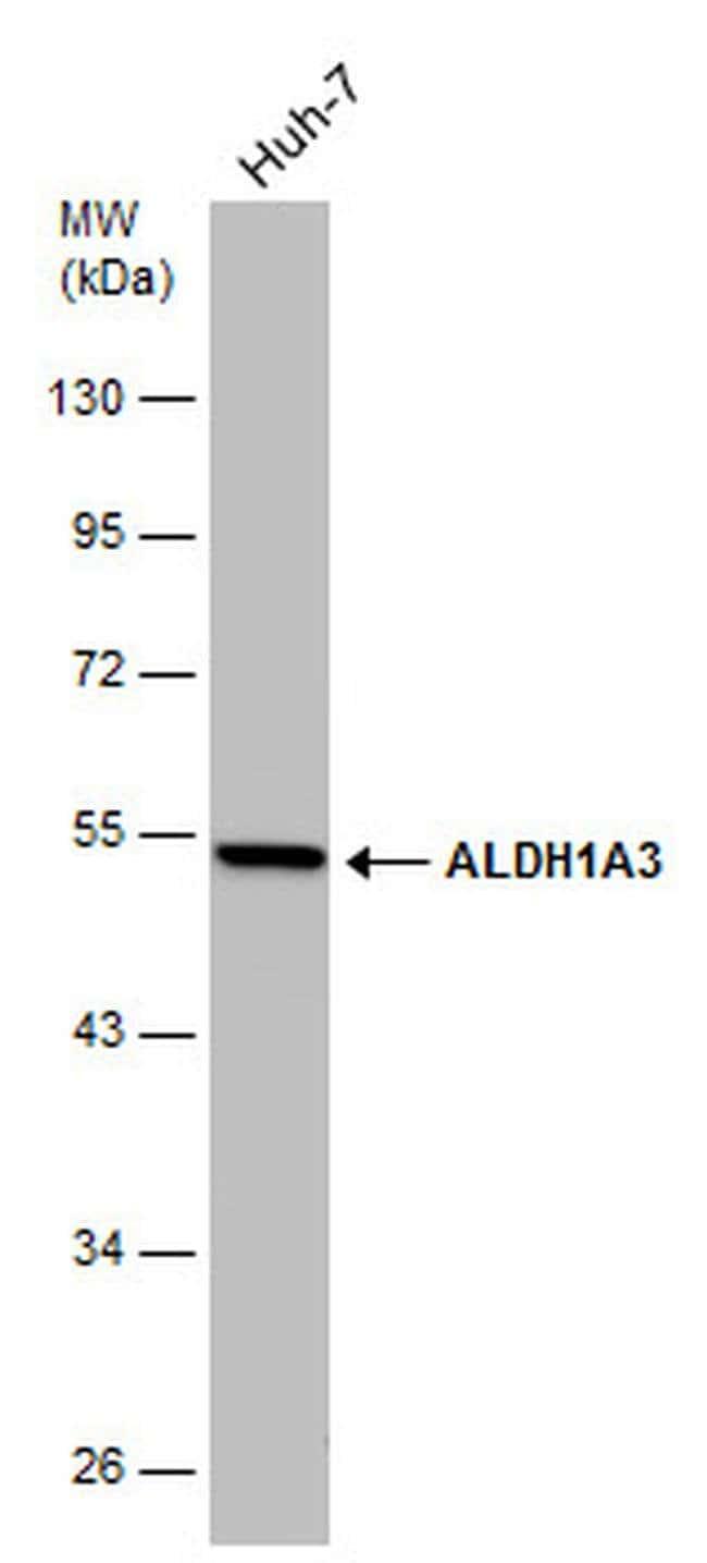 ALDH1A3 Mouse anti-Human, Clone: GT926, Invitrogen 100 µL; Unconjugated