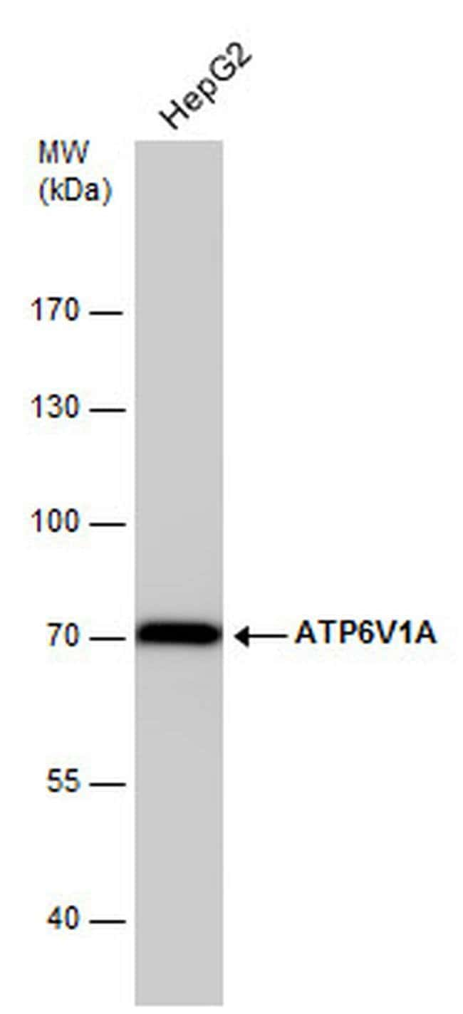 ATP6V1A Mouse anti-Human, Mouse, Rat, Clone: GT3846, Invitrogen 100 µL;