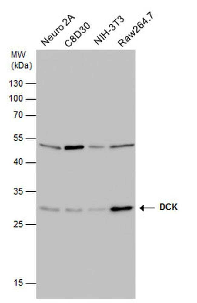 DCK Mouse anti-Human, Mouse, Rat, Clone: GT10412, Invitrogen 100 µL;