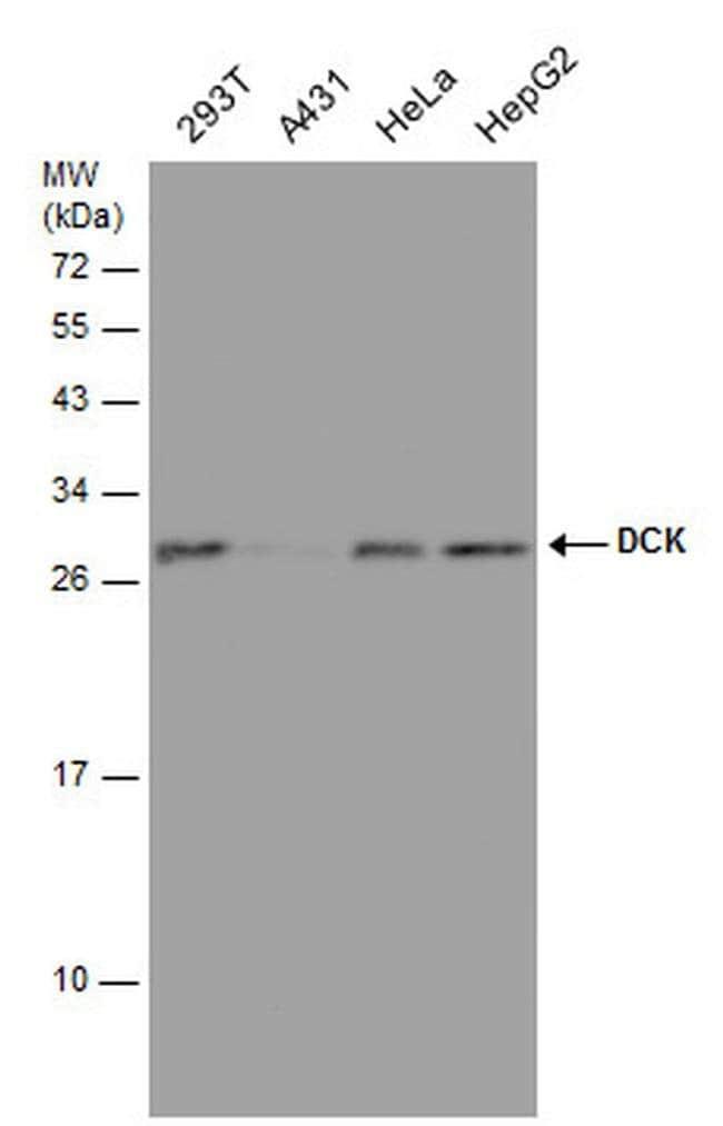DCK Mouse anti-Human, Clone: GT7710, Invitrogen 100 µL; Unconjugated
