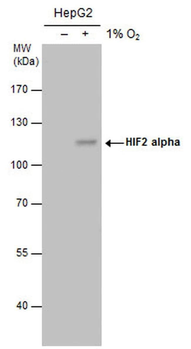 HIF-2 alpha Mouse anti-Human, Mouse, Rat, Clone: GT125, Invitrogen 100