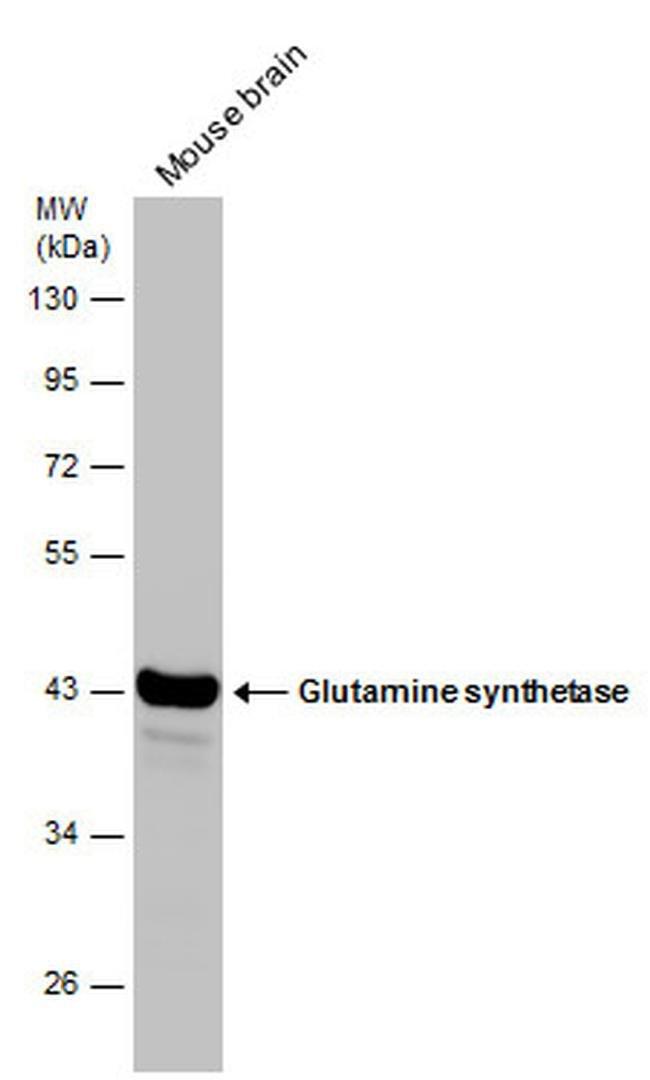 Glutamine Synthetase Mouse anti-Human, Mouse, Rat, Clone: GT1055, Invitrogen