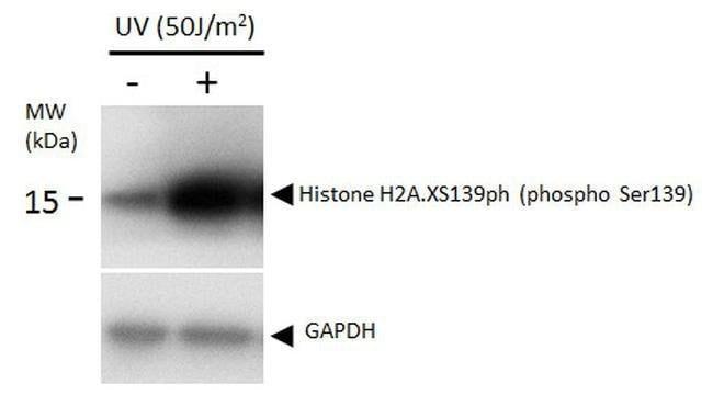 Phospho-Histone H2A.X (Ser139) Mouse anti-Human, Mouse, Rat, Clone: GT2311,