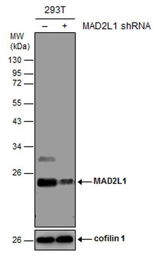 MAD2 Mouse anti-Human, Clone: GT1761, Invitrogen 100 µL; Unconjugated