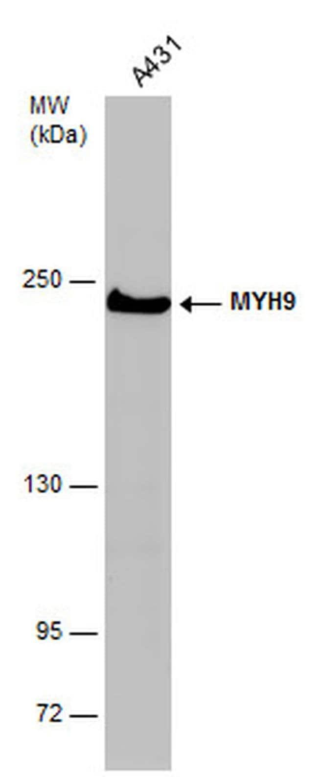 MYH9 Mouse anti-Human, Mouse, Clone: GT218, Invitrogen 100 µL; Unconjugated
