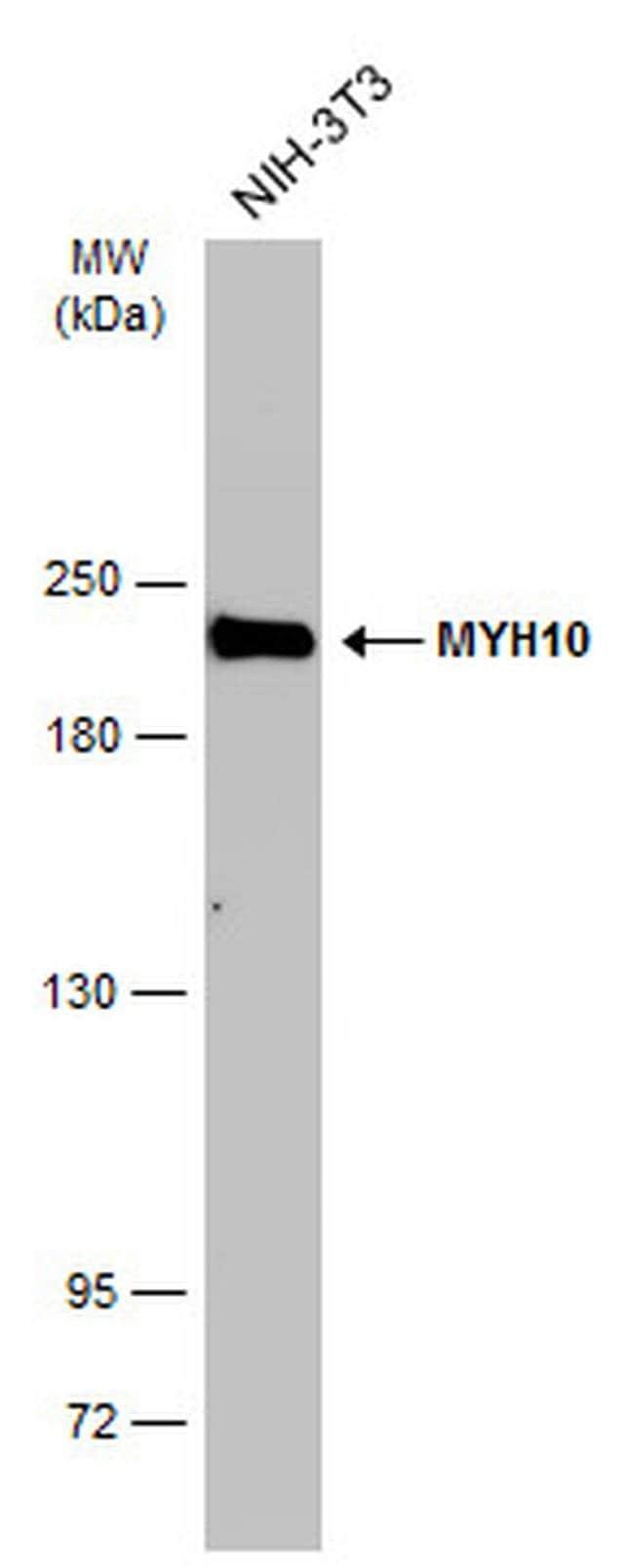MYH10 Mouse anti-Human, Mouse, Rat, Clone: GT246, Invitrogen 100 µL;