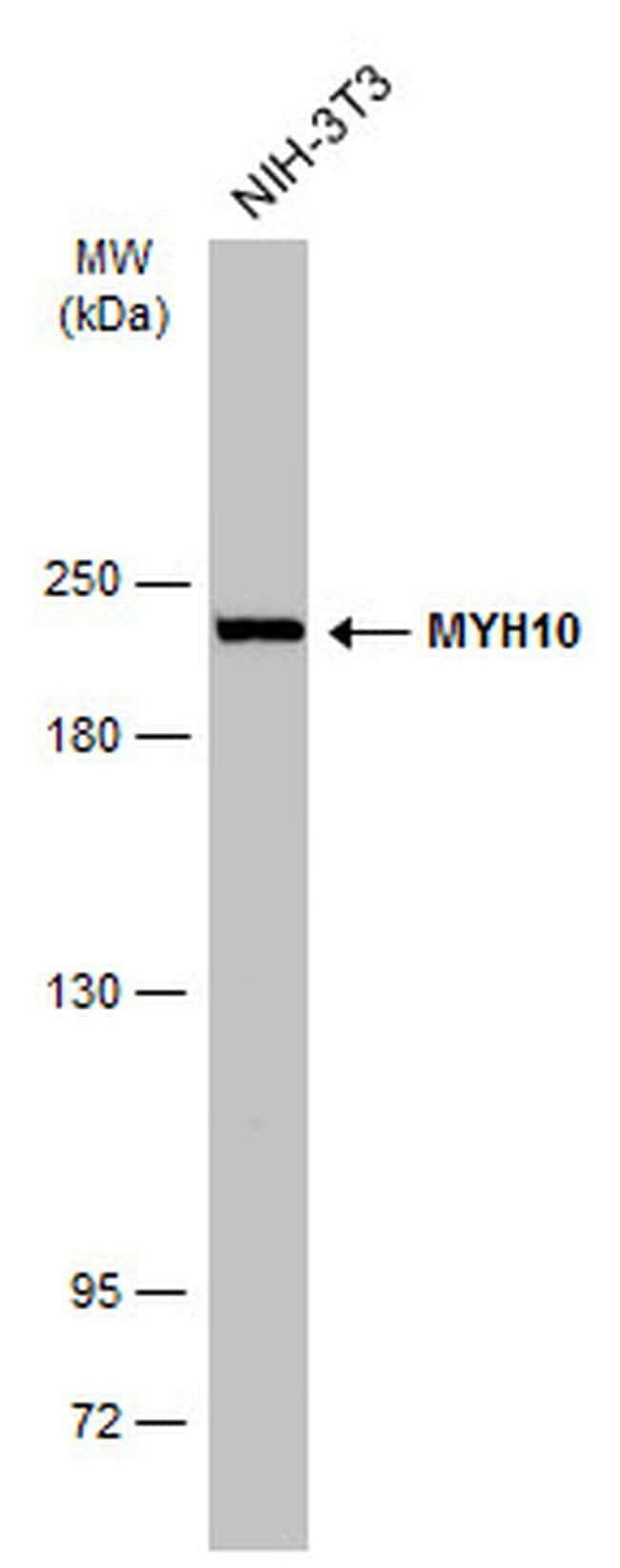MYH10 Mouse anti-Human, Mouse, Rat, Clone: GT324, Invitrogen 100 µL;