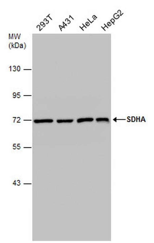 SDHA Mouse anti-Human, Rat, Clone: GT20710, Invitrogen 100 µL; Unconjugated