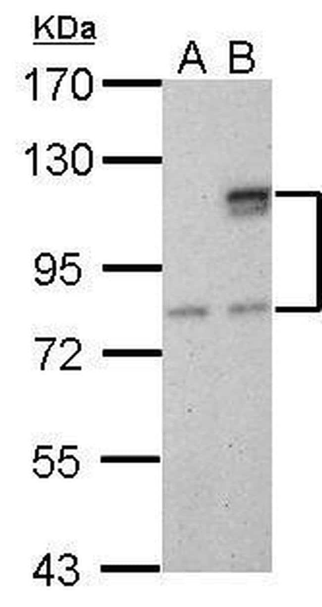 SUPV3L1 Mouse anti-Human, Clone: GT244, Invitrogen 100 µL; Unconjugated