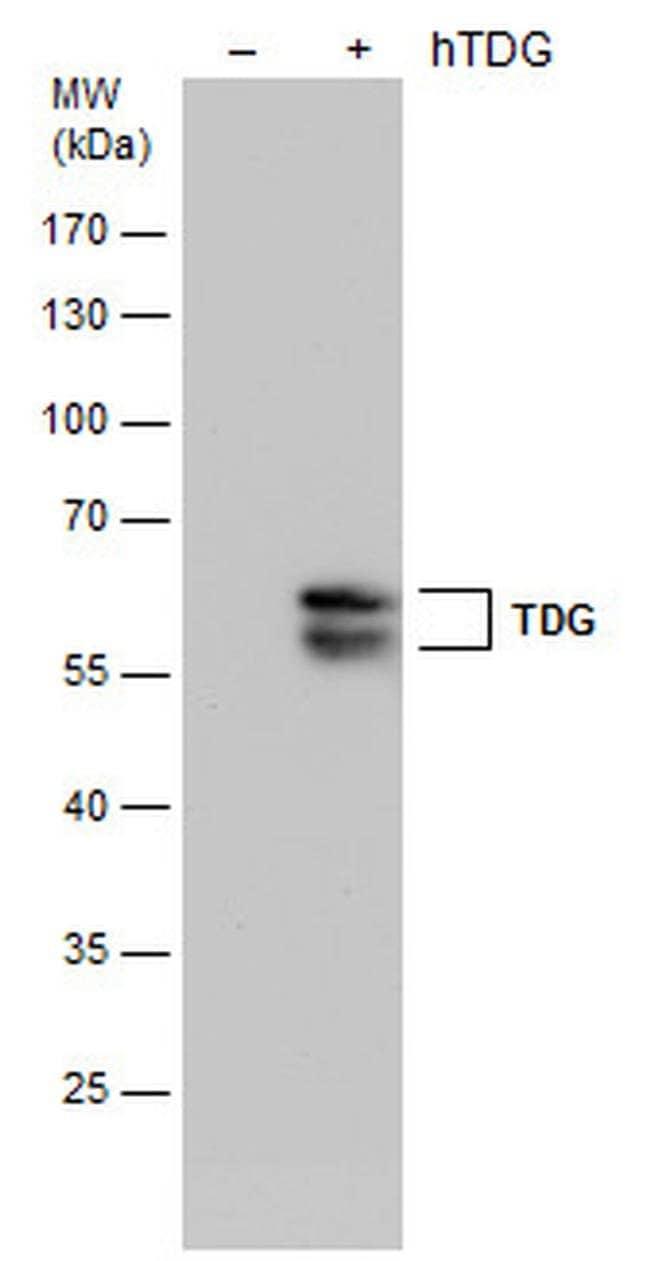 TDG Mouse anti-Human, Clone: GT1142, Invitrogen 100 µL; Unconjugated