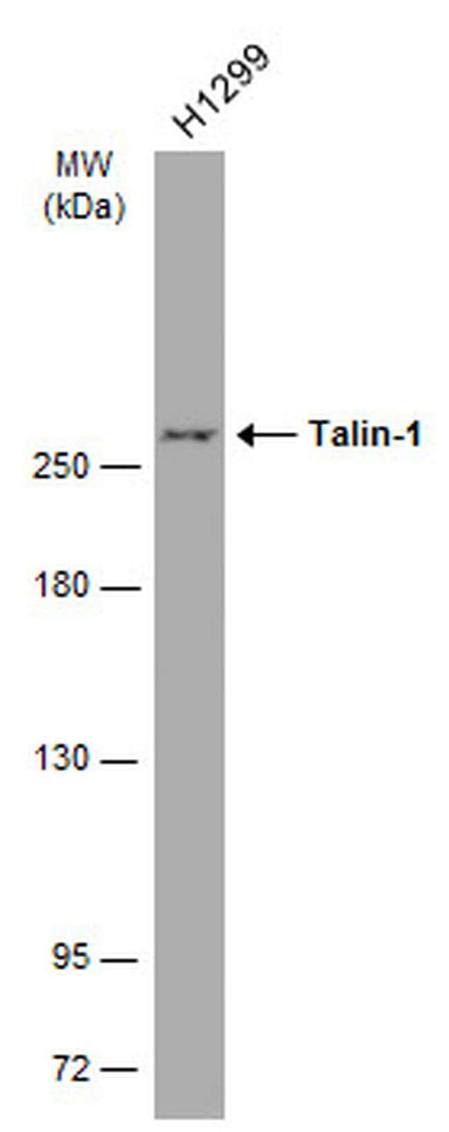 Talin 1 Mouse anti-Human, Clone: GT24212, Invitrogen 100 µL; Unconjugated