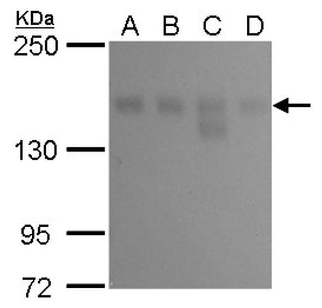 KDM6A Mouse anti-Human, Clone: GT1612, Invitrogen 100 µL; Unconjugated