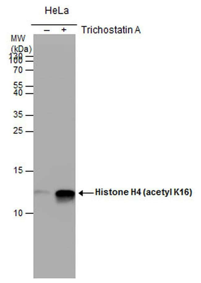 Acetyl-Histone H4 (Lys16) Mouse anti-Human, Mouse, Clone: GT1271, Invitrogen