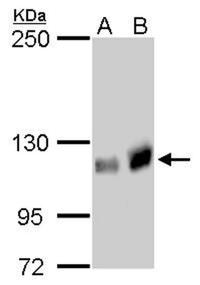 GEF-H1 Mouse anti-Human, Mouse, Rat, Clone: GT1132, Invitrogen 100 µL;