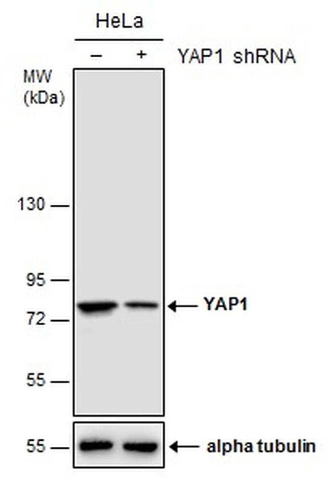 YAP1 Mouse anti-Human, Mouse, Clone: GT256, Invitrogen 100 µL; Unconjugated