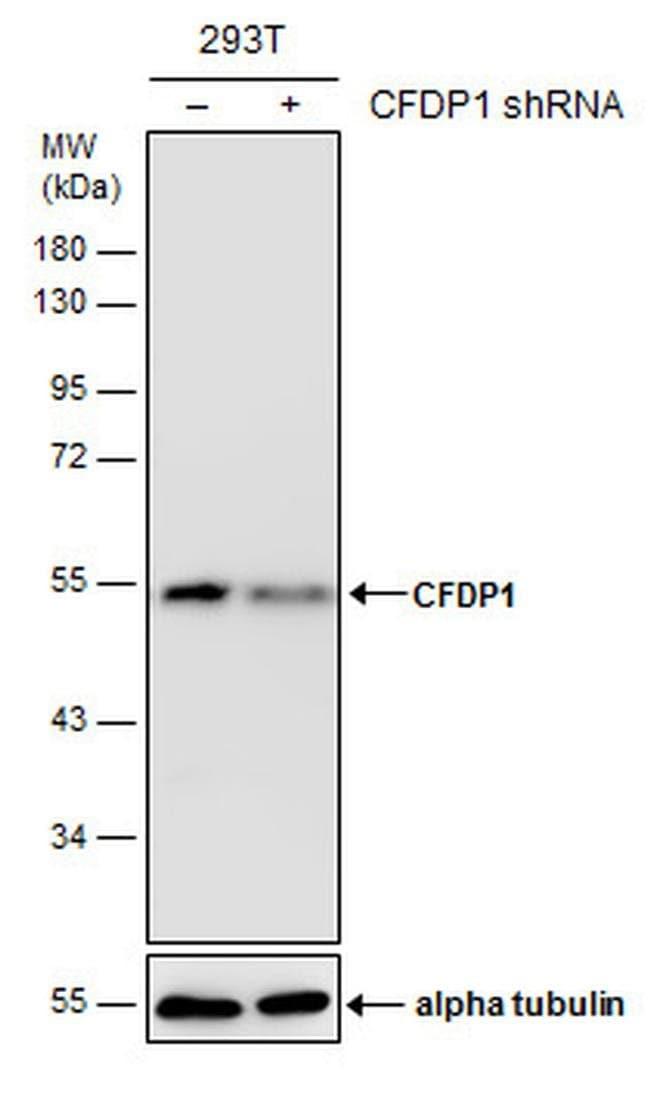 CFDP1 Mouse anti-Human, Clone: GT9612, Invitrogen 100 µL; Unconjugated