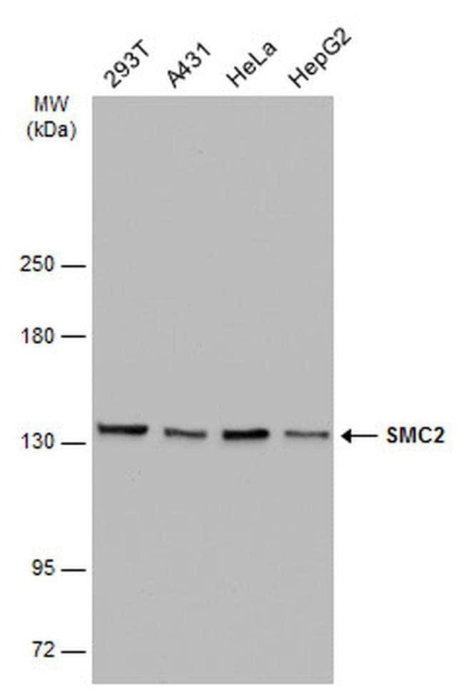SMC2 Mouse anti-Human, Clone: GT4312, Invitrogen 100 µL; Unconjugated