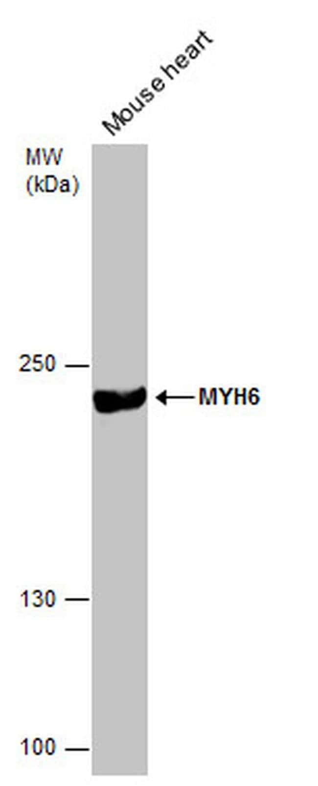 MYH6 Mouse anti-Human, Mouse, Clone: GT5612, Invitrogen 100 µL; Unconjugated