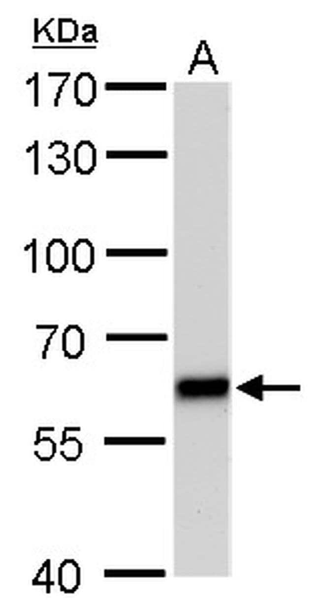 PUF60 Mouse anti-Human, Mouse, Rat, Clone: GT677, Invitrogen 100 µL;