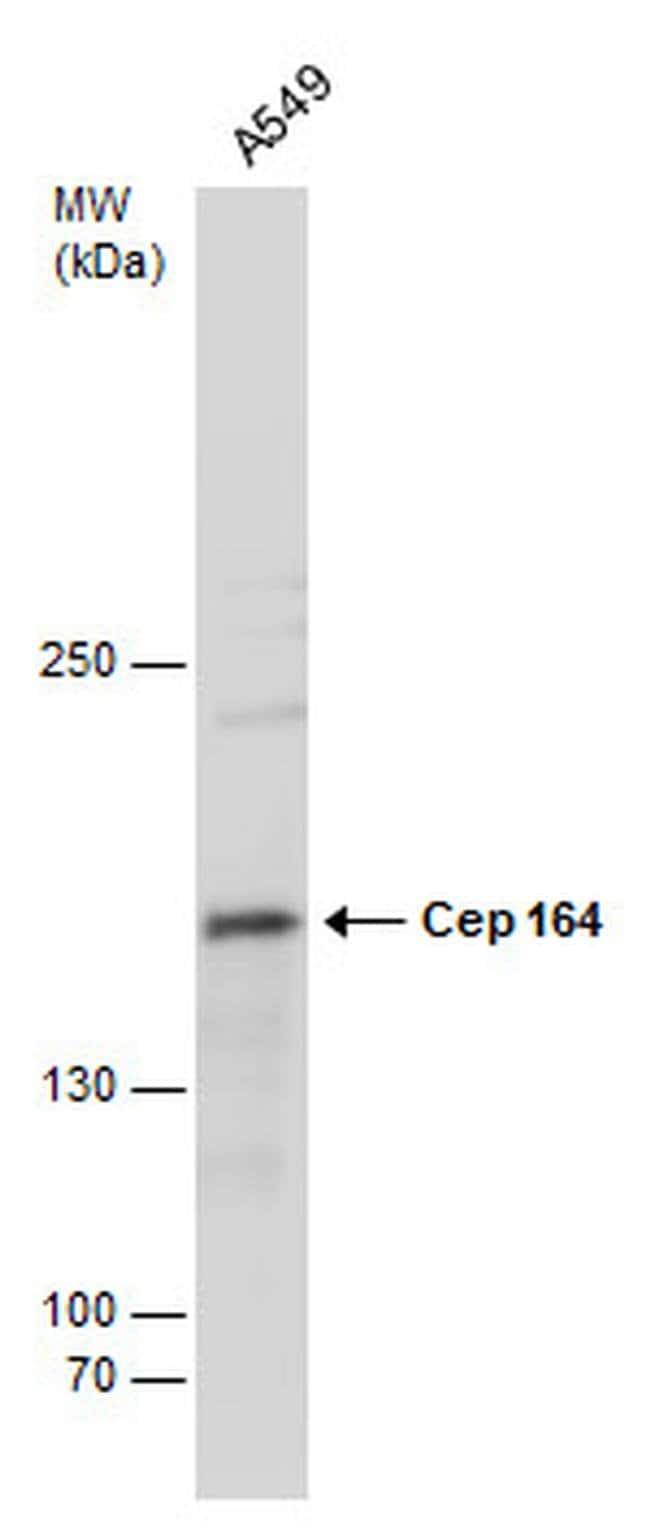 CEP164 Mouse anti-Human, Clone: 13, Invitrogen 100 µL; Unconjugated