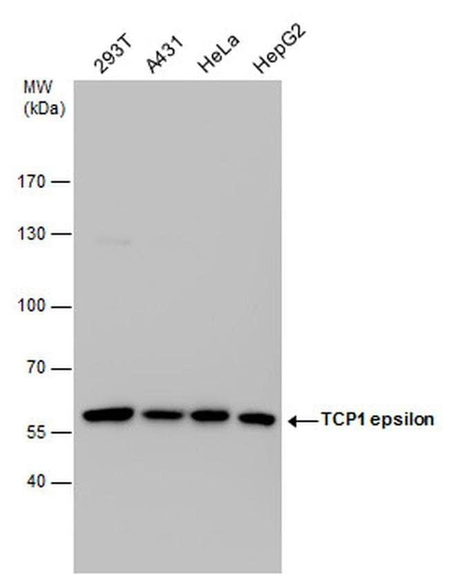 TCP-1 epsilon Mouse anti-Human, Clone: GT639, Invitrogen 100 µL; Unconjugated
