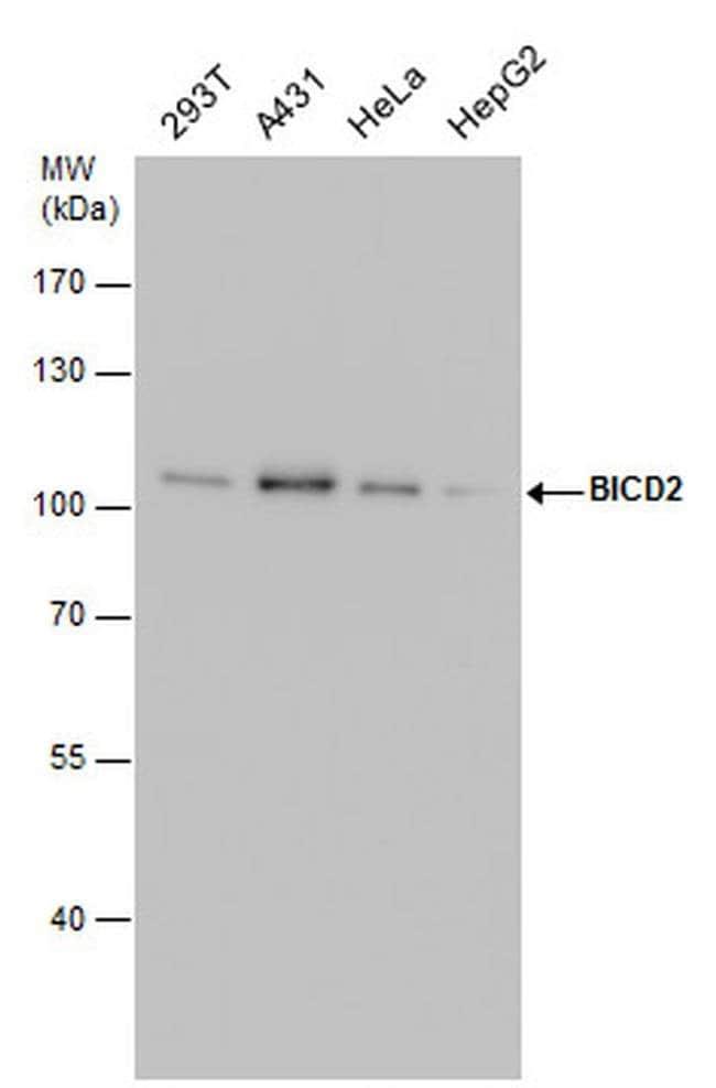 BICD2 Mouse anti-Human, Rat, Clone: GT1824, Invitrogen 100 µL; Unconjugated