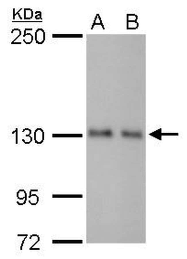 ARHGEF18 Mouse anti-Human, Mouse, Rat, Clone: GT1972, Invitrogen 100 µL;