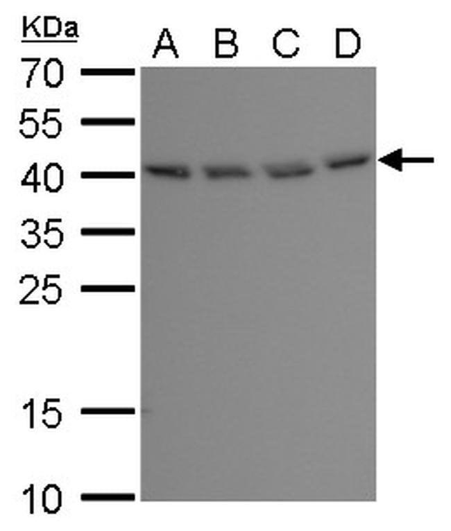 BABAM1 Mouse anti-Human, Clone: GT1251, Invitrogen 100 µL; Unconjugated