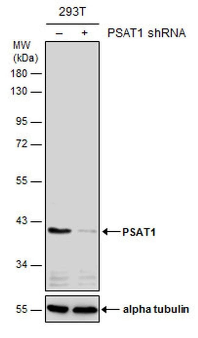 PSAT1 Mouse anti-Human, Mouse, Clone: GT2918, Invitrogen 100 µL; Unconjugated