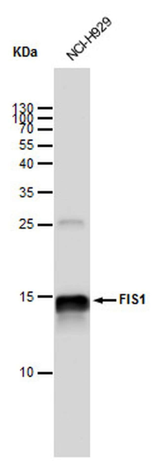 FIS1 Mouse anti-Human, Clone: GT12112, Invitrogen 100 µL; Unconjugated