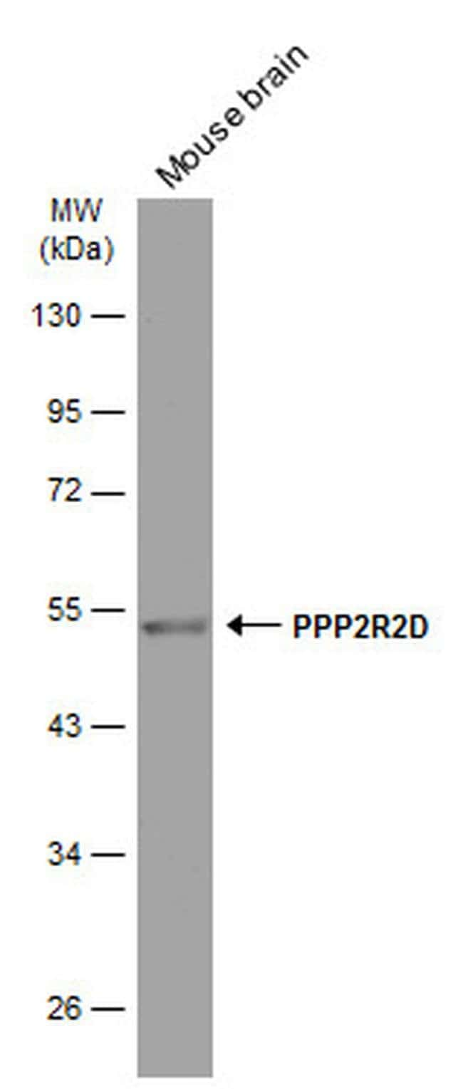 PPP2R2D Mouse anti-Human, Mouse, Clone: GT577, Invitrogen 100 µL;