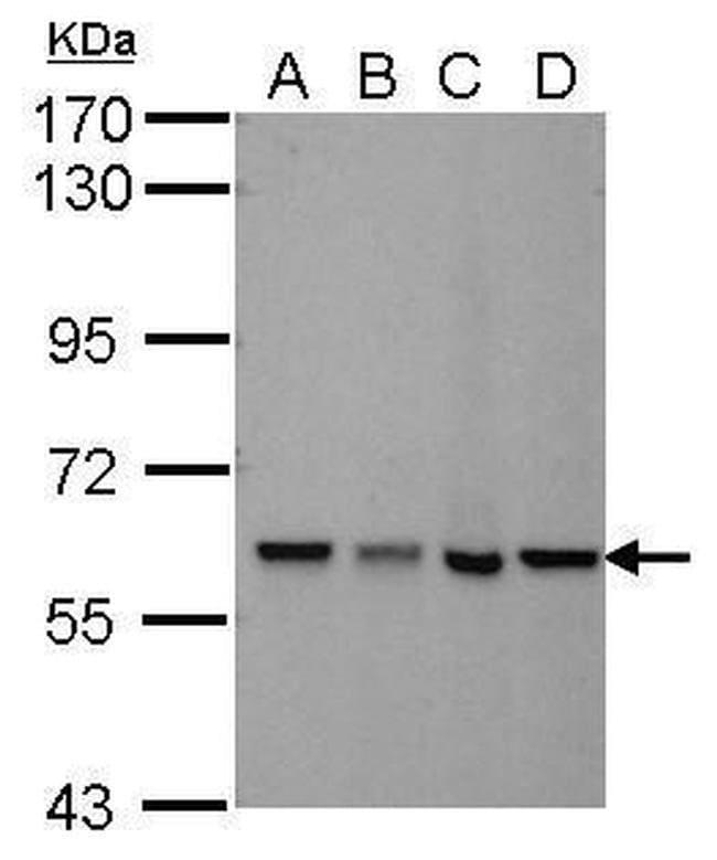 MTPAP Mouse anti-Human, Clone: 1D3, Invitrogen 100 µL; Unconjugated