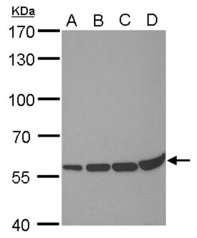 PRDM14 Mouse anti-Human, Clone: GT1359, Invitrogen 100 µL; Unconjugated