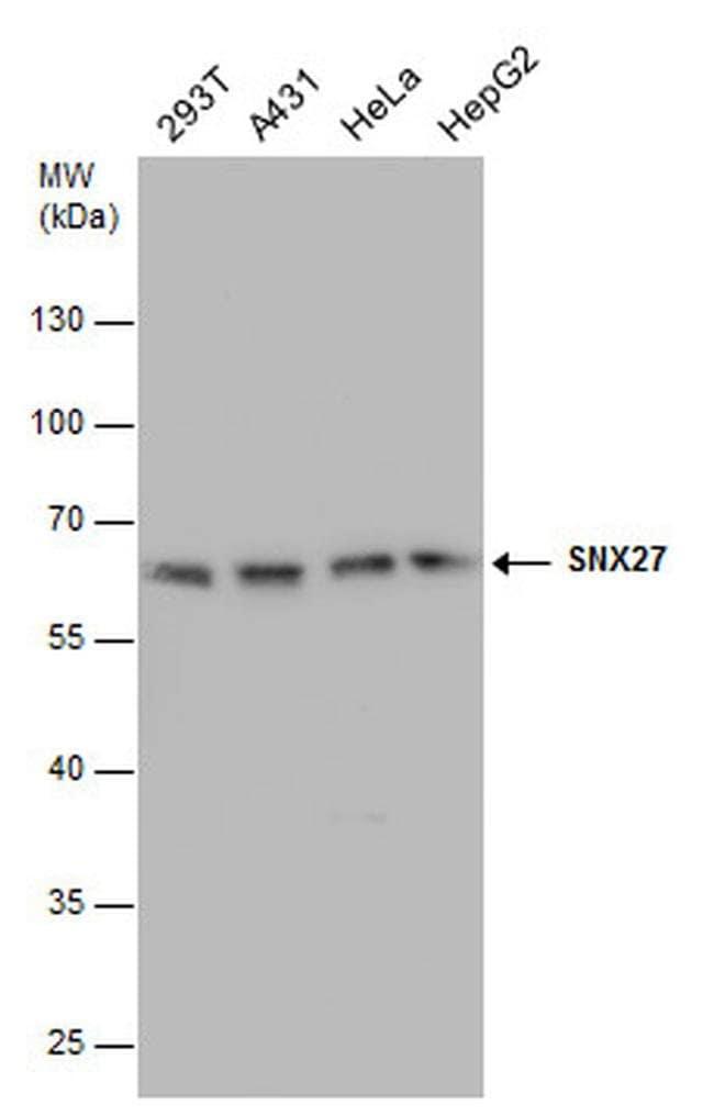 SNX27 Mouse anti-Human, Clone: 1C6, Invitrogen 100 µL; Unconjugated