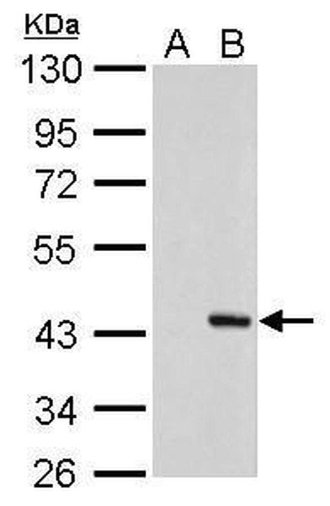 PSRC1 Mouse anti-Human, Clone: GT982, Invitrogen 100 µL; Unconjugated