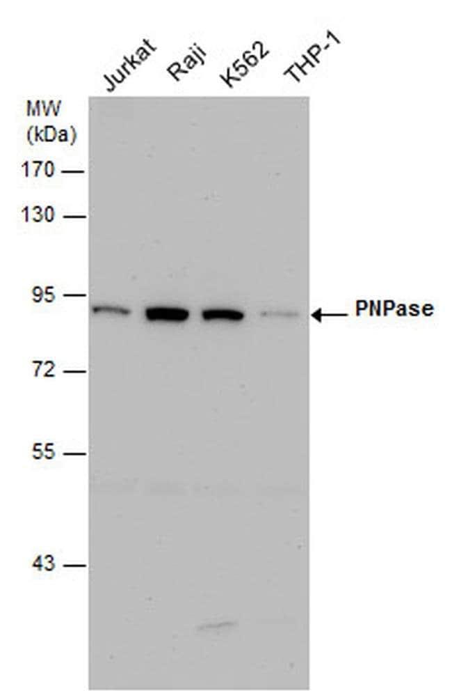 PNPase Mouse anti-Human, Clone: 4C11, Invitrogen 100 µL; Unconjugated