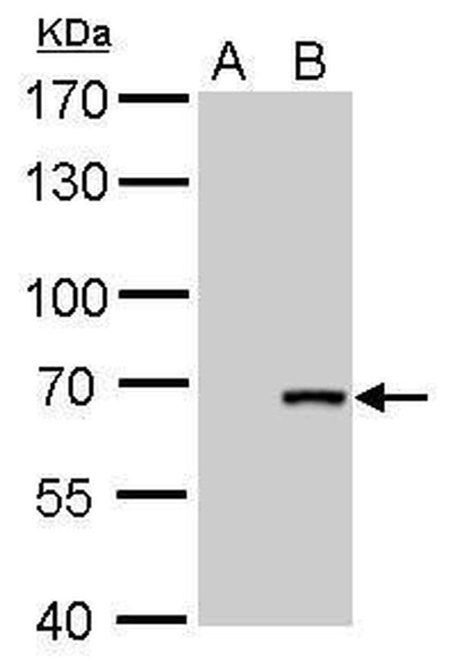 Cre recombinase Mouse anti-Virus, Clone: GT10212, Invitrogen 100 µL;
