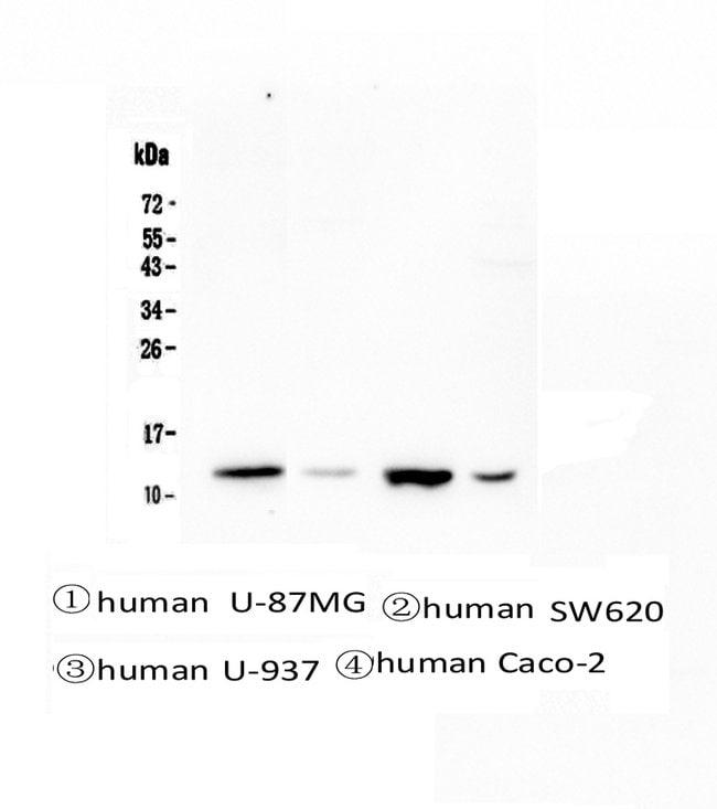 Cystatin B Mouse anti-Human, Clone: 2B6, Invitrogen 100 µg; Unconjugated