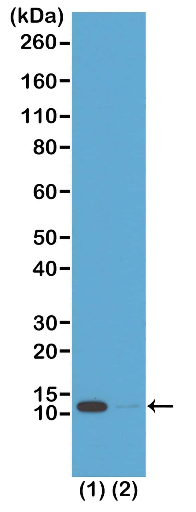Acetyl-Histone H4 (Lys16) Rabbit anti-Human, Invitrogen 100 µg; Unconjugated